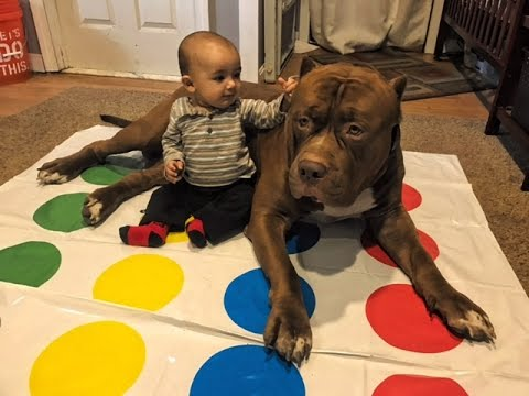 """they say...Family allows 12 stone Pit bull to """"Baby sit"""" 9 month old baby"""