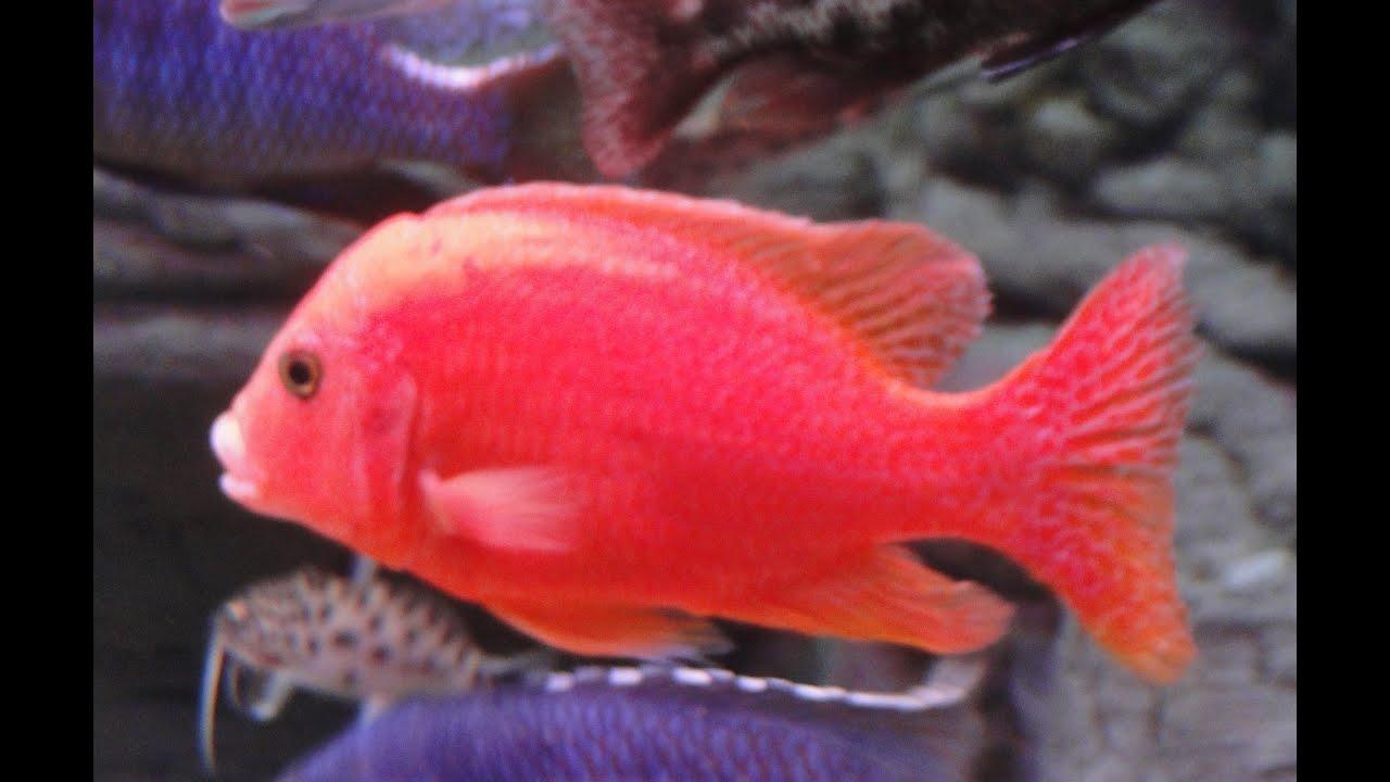 Aulonocara Strawberry Fire Fish African Cichlid Malawi - YouTube