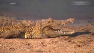 Дикая природа Африки Звериная элита - слоны бегемоты и крокодил Идубе Idube Africa
