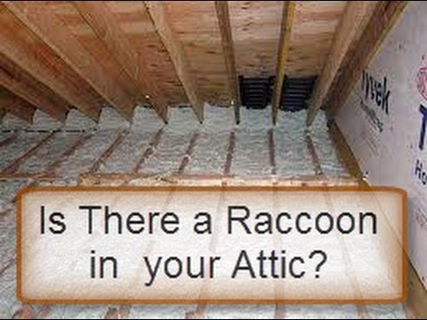Is There A Raccoon In Your Attic Here Is A Test Youtube
