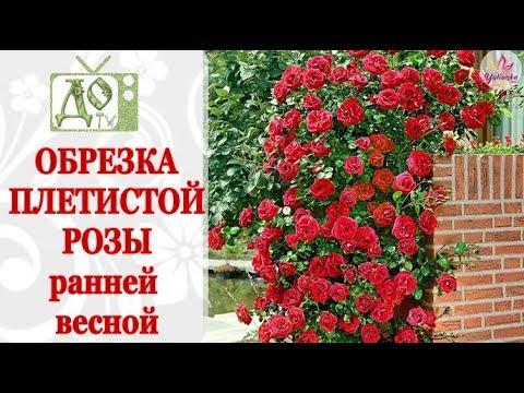 ОБРЕЗКА ПЛЕТИСТОЙ РОЗЫ ВЕСНОЙ / ФОРМИРОВАНИЕ КУСТА, ЧЕРЕНКИ