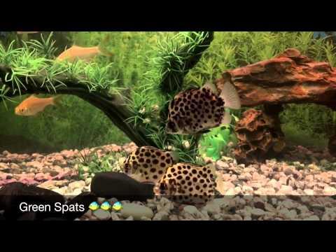 Spotted Green Scat Fish - My Community Fish Tank