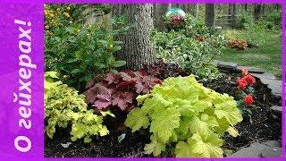 Гейхера в моем саду. В чем секреты выращивание гейхеры и о чем говорят ее листья?