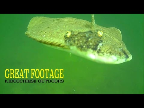 HOW FLOUNDER/FLUKE REACT TO BAIT AWESOME UNDERWATER FOOTAGE