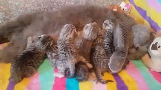 Новорожденные Шотландские котята   5 дней