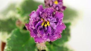 Пестролистная фиалка с махровыми темно-сиреневыми цветами - АВ-821-81