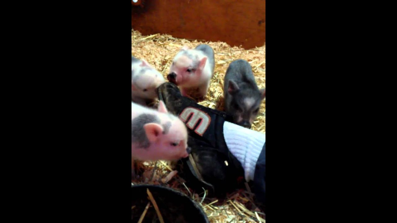 Baby mini pigs playing - YouTube