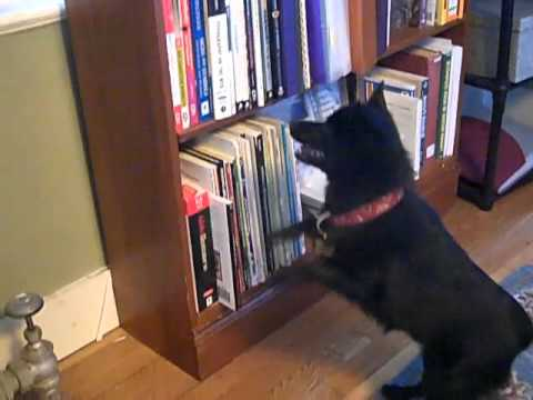 Schipperke Guard Dog Verbally Abuses A Fly - Cricket & Black Magic