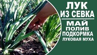 Выращивание лука из севка . Вторая подкормка , поливы , борьба с луковой мухой