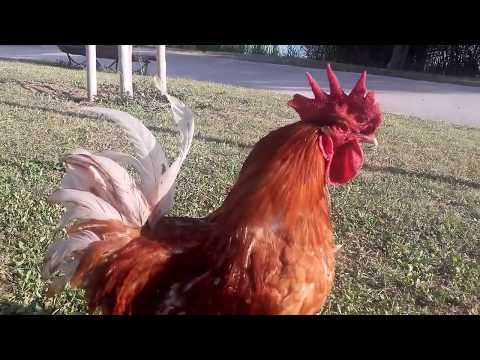 Red Rooster 201