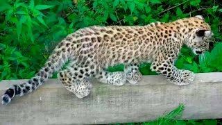 В Сочинском заповеднике котятам переднеазиатского леопарда делают первые прививки.