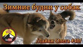 Зимние будни у собак /Лайки Олега #40/