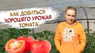 Как сохранить кисти и завязь у томатов! 4 правила хорошего урожая!