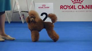Toy Poodle at Euro dog show 2018 in Warsaw
