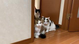 工事現場の騒音にビビる猫がかわいい Cute cats surprised by noise.