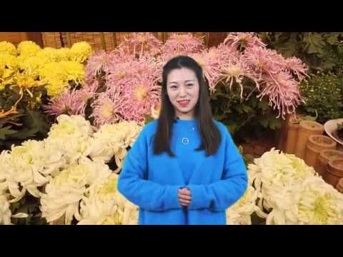 Chrysanthemum: Not Just a Flower in China