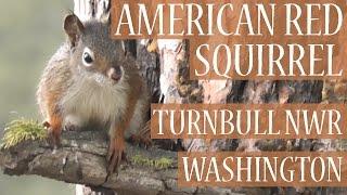 American Red Squirrel in Ponderosa Pine, Turnbull National Wildlife Refuge, Washington