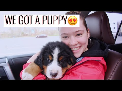 WE GOT A BERNESE PUPPY!! | Getting The Puppy + Puppy's First Day | Bernese Mountain Dog | Emma Bauer