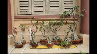 How to Plant and Raise the Roots of Adenium Bonsai Easily For Ornamental Plants