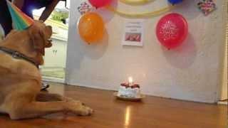 Dog Eats Birthday Cake!!!!!!!!!