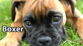 The Right Companion: Boxer
