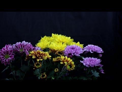 Chrysanthemum indicum - Chrysanthemen, Chrysanthemums