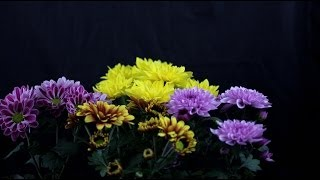 Chrysanthemum Indicum - Chrysanthemen, Chrysanthemums