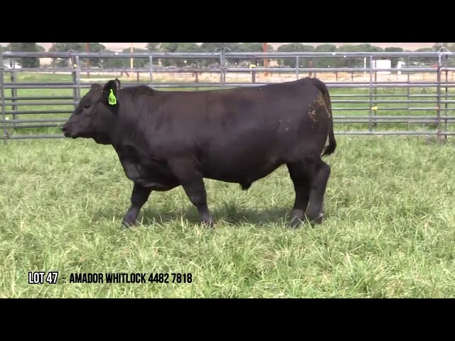 Mid Valley Bull Sale Lot 47