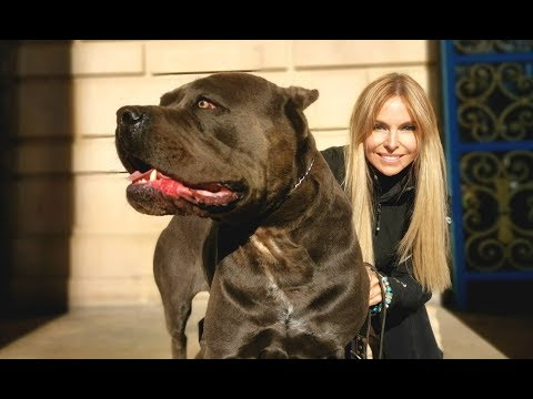 THE CANE CORSO - POWERFUL ROMAN DOG OF WAR