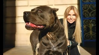 THE CANE CORSO  POWERFUL ROMAN DOG OF WAR