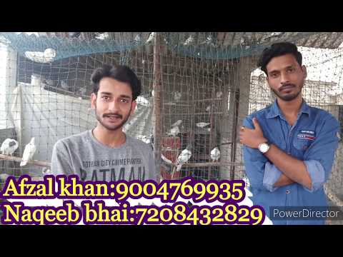 High Flyer Pigeons For Sale Naqeeb Bhai Thane Maharashtra
