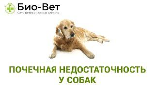Почечная недостаточность у собак. Ветеринарная клиника Био-Вет.