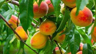 Урожай 2018 - персик, яблоко, груша, слива, айва, виноград, калина
