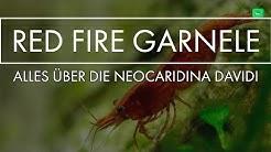 RED FIRE ZWERGGARNELE | Portrait | GarnelenTv