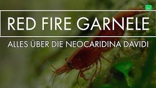 ALLES ÜBER DIE RED FIRE ZWERGGARNELE | Portrait | GarnelenTv