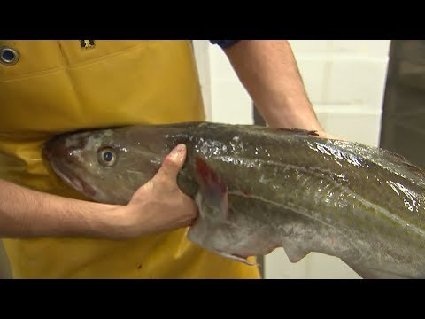 North Sea Cod Stock Rapidly Improves From Disastrous Levels