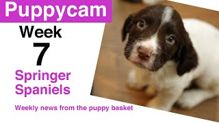 Puppies | Springer Spaniel Puppies | Puppy Development | Week 7  ready for their new homes