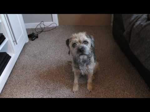Border terrier Leeloo is hungry and refuses to do tricks.