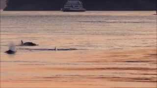 whales in active pass 7:50 pm aug 24 2014, 2 of 2 videos