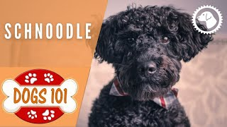 Dogs 101  SCHNOODLE  Top Dog Facts about the SCHNOODLE | DOG BREEDS  Brooklyn's Corner