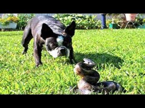 Dog vs snake. Rottweiler, dachshund, german shepherd vs snake. Anaconda vs dog