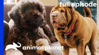 Fit Family, Fat Dog   My Big Fat Pet Makeover (Full Episode)