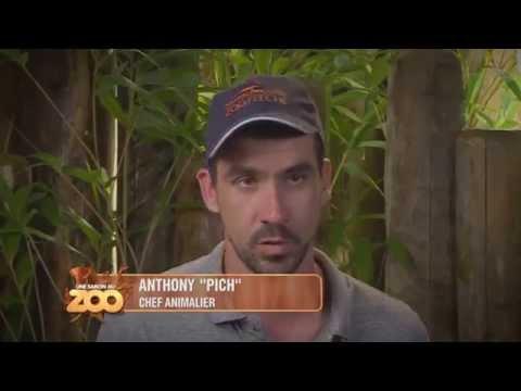 """Une Saison Au Zoo - """"Mission Tigre"""" pour Cyril et Pich (S4 Ep12) (Extrait)"""