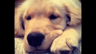 This Video Previously Contained A Copyrighted Audio Track. Due To A Claim By A Copyright Holder, The Audio Track Has Been Muted.     Banks- The First 6 Months Of A Growing Golden Retriever Puppy