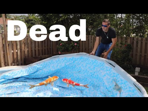 Koi Found Dead Why My Color Fish Died!!  (Security Footage)