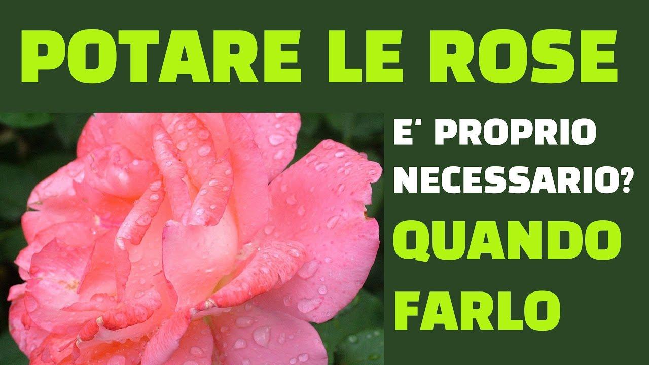 Rose Da Taglio Rifiorenti la potatura delle rose secondo il tipo