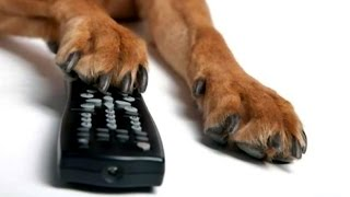 Забавные реакции животных, при просмотре телевизора * Morsomme dyr svar, når du ser på TV