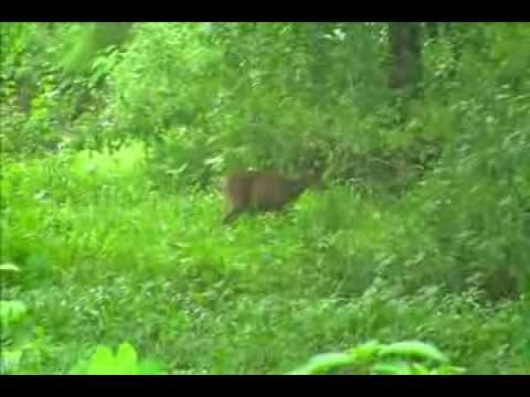 Barking Deer or The Indian muntjac (Muntiacus muntjak), also called the red muntjac in Melghat
