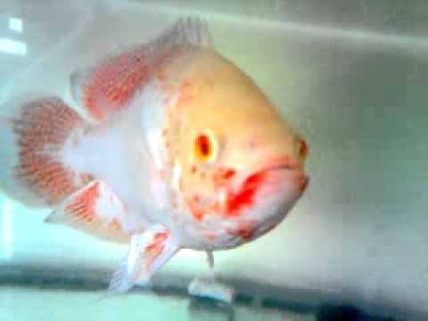 my oscar fish[Vietnam] Cá tai tượng châu phi