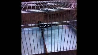 Video Perawatan Burung Kacer Poci Gacor Saat Mandi 2